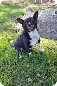 Chihuahua/Norfolk Terrier Mix Dog for adoption in Mountain Center, California - Amigo