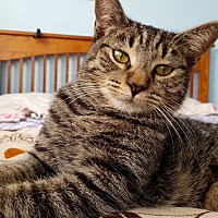 Domestic Shorthair Cat for adoption in Tucson, Arizona - Fiona:massage specialist