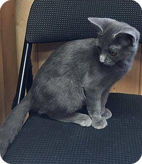 Domestic Shorthair Kitten for adoption in Covington, Virginia - Chloe