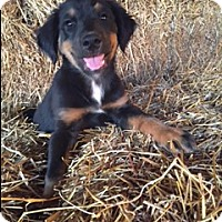 Adopt A Pet :: Harper - Bedminster, NJ