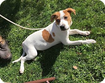 Labrador Retriever/Beagle Mix Puppy for adoption in Sharon Center, Ohio - Rebel
