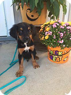 Labrador Retriever/Australian Shepherd Mix Puppy for adoption in New Oxford, Pennsylvania - Ibrahim