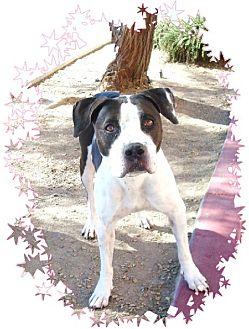 Boxer Mix Dog for adoption in Las Vegas, Nevada - Kai
