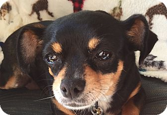 Chihuahua/Miniature Pinscher Mix Dog for adoption in San Diego, California - MADDIE