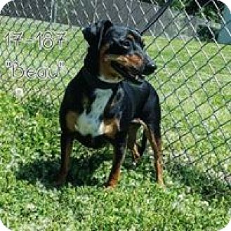 Miniature Pinscher Mix Dog for adoption in Cannelton, Indiana - Beau