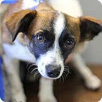 Adopt A Pet :: Beagle/Papillon mix girl - Yukon, OK