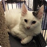 Domestic Mediumhair Kitten for adoption in Sacramento, California - Serena