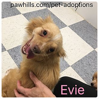 Chihuahua/Mixed Breed (Small) Mix Dog for adoption in Agoura Hills, California - Evie