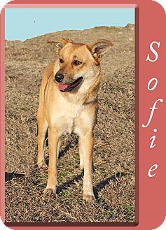 Retriever (Unknown Type)/Shepherd (Unknown Type) Mix Dog for adoption in Hillsboro, Texas - Sofie