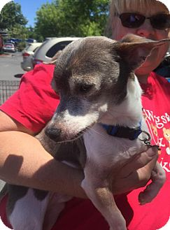 Chihuahua Mix Dog for adoption in Willows, California - Horatio
