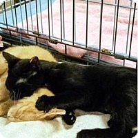 Adopt A Pet :: Midnight - Fayetteville, GA
