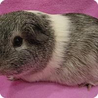 Adopt A Pet :: Cuddles - Highland, IN