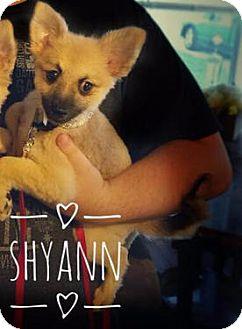 Pomeranian Puppy for adoption in Maitland, Florida - Shyann