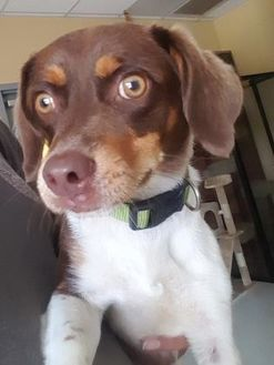 English Springer Spaniel Mix Dog for adoption in Savannah, Tennessee - Bruiser