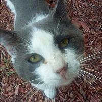 Adopt A Pet :: Miss Kitty Kat - Parkton, NC