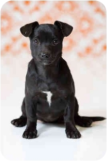 Dachshund/Chihuahua Mix Puppy for adoption in Portland, Oregon - Marnie