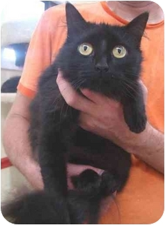 Domestic Longhair Cat for adoption in Haughton, Louisiana - Ebony