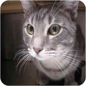 Domestic Shorthair Cat for adoption in Phoenix, Arizona - Eli