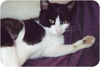 Domestic Shorthair Cat for adoption in Tillamook, Oregon - Growler
