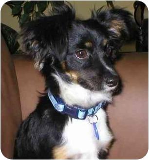 Papillon/Corgi Mix Dog for adoption in Poway, California - MARIBEL