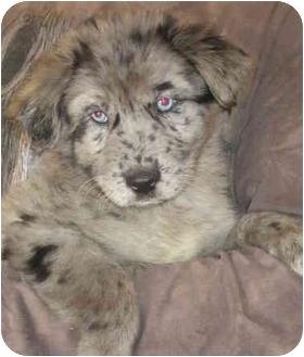 Australian Shepherd/Border Collie Mix Puppy for adoption in Milford, New Jersey - Kaleidoscope
