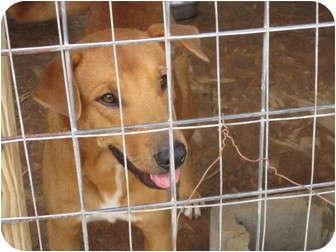 Shar Pei/Labrador Retriever Mix Dog for adoption in Fairfield, Texas - Oscar