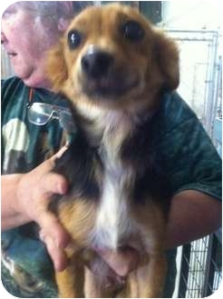 Terrier (Unknown Type, Small) Mix Dog for adoption in Lonedell, Missouri - mommy t