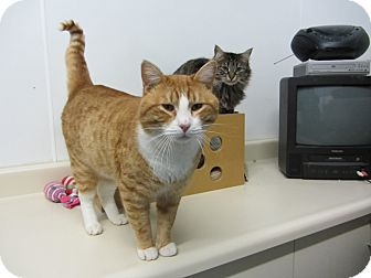 Domestic Shorthair Cat for adoption in Kingston, Washington - Arvin