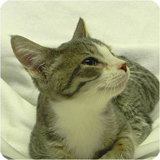 Domestic Shorthair Kitten for adoption in Marion, Wisconsin - Snow White
