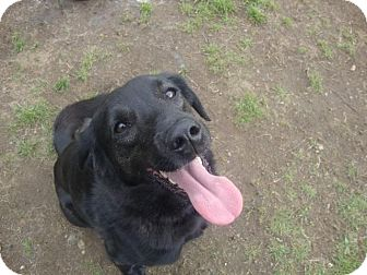 Labrador Retriever/Spitz (Unknown Type, Medium) Mix Dog for adoption in Quincy, Massachusetts - Zora