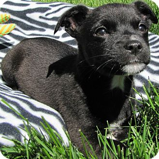 Boston Terrier/Dachshund Mix Puppy for adoption in Westminster, Colorado - S'Mores