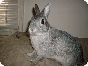 Netherland Dwarf Mix for adoption in Conshohocken, Pennsylvania - Theodore