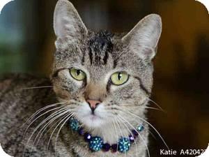 Ragdoll Cat for adoption in Sacramento, California - Jordan