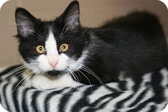 Domestic Shorthair Kitten for adoption in Allentown, Pennsylvania - Alley