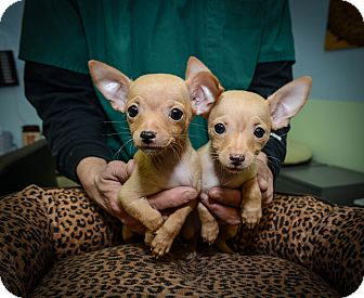 Chihuahua Puppy for adoption in New York, New York - Pumpkin