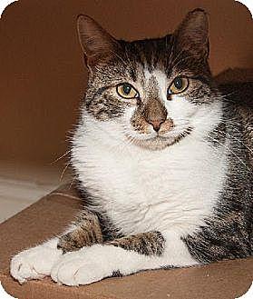 Domestic Shorthair Cat for adoption in Ashland, Massachusetts - Luca