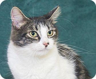 Domestic Shorthair Cat for adoption in Elmwood Park, New Jersey - Cassandra
