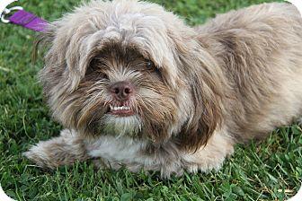 Shih Tzu Mix Dog for adoption in Marietta, Ohio - Cappy (Neutered)