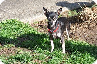 Chihuahua Mix Dog for adoption in Tumwater, Washington - Amigo