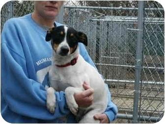 Rat Terrier Mix Dog for adoption in Mason City, Iowa - Sam