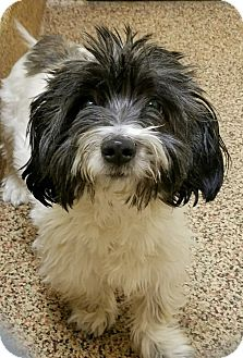 Havanese/Lhasa Apso Mix Dog for adoption in Worcester, Massachusetts - Sonny