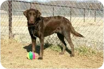 Labrador Retriever/German Shorthaired Pointer Mix Dog for adoption in Muldrow, Oklahoma - TOBY