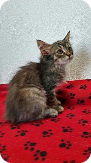 Domestic Mediumhair Kitten for adoption in China, Michigan - Flutter