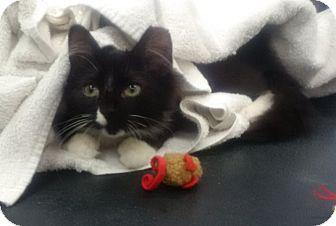Domestic Longhair Kitten for adoption in Kensington, Maryland - Romeo