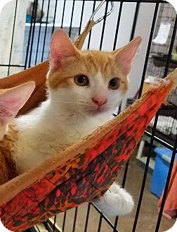 Domestic Shorthair Kitten for adoption in Fallbrook, California - Rascal