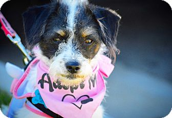 Terrier (Unknown Type, Small) Mix Dog for adoption in Redondo Beach, California - Donut-ADOPT Me!