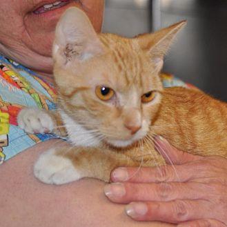 Domestic Shorthair Cat for adoption in Sunrise Beach, Missouri - Angel