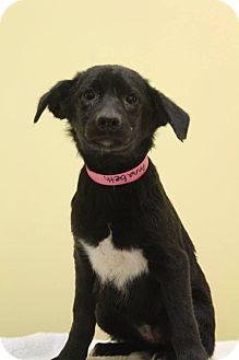 Labrador Retriever Mix Puppy for adoption in Waldorf, Maryland - Annabeth