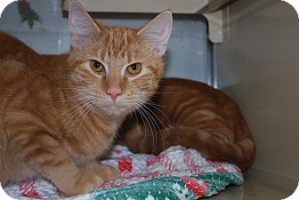 Domestic Shorthair Cat for adoption in New Castle, Pennsylvania - Alex