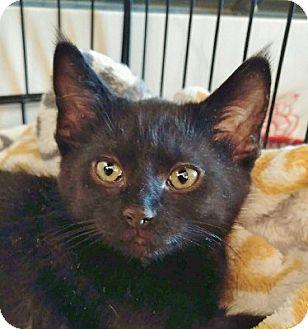 Domestic Shorthair Kitten for adoption in Lloydminster, Alberta - Urban